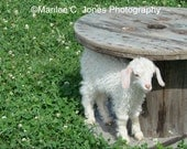 Angora Goat With Spool Fine Art Vermont Photo Print: Multiple Sizes Available