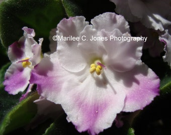 African Violet Fine Art Vermont Photo Print: Multiple Sizes Available