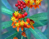 """Butterfly weed, photo greeting card, 5x7, text inside: """"Happy Mother's Day"""""""