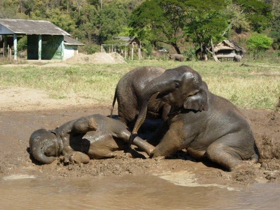 Time to Play elephants play in a mud bath on an animal rescue park in Thailand digital photo