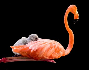 Flamingo Baby and Mother