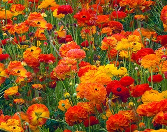 Red and Yellow Ranunculus