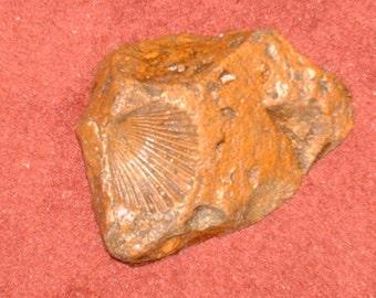 Mollusk fossil imprint