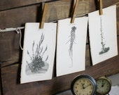 Botanical Herb  Illustrations, Old Herbal Remedies