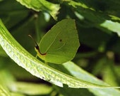 Fine Art Macro Photography Print green butterfly camouflaged