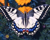 """peacock swallowtail butterfly """"Macaone"""" Fine Art Macro Photography Print"""