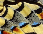 Fine Art Macro Photography Print wings Macaone peacock swallowtail butterfly
