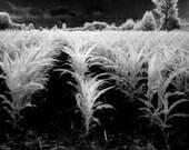Fine Art Photography Print black and white cornfield