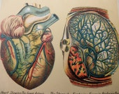 original page - color lithograph MEDICAL CHART from antique 1916 medical book - heart, lungs, liver, kidney, Human Internal Organs