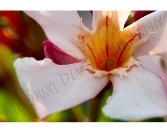 Oleander Blossom - Matted photograph of an oleander blossom.