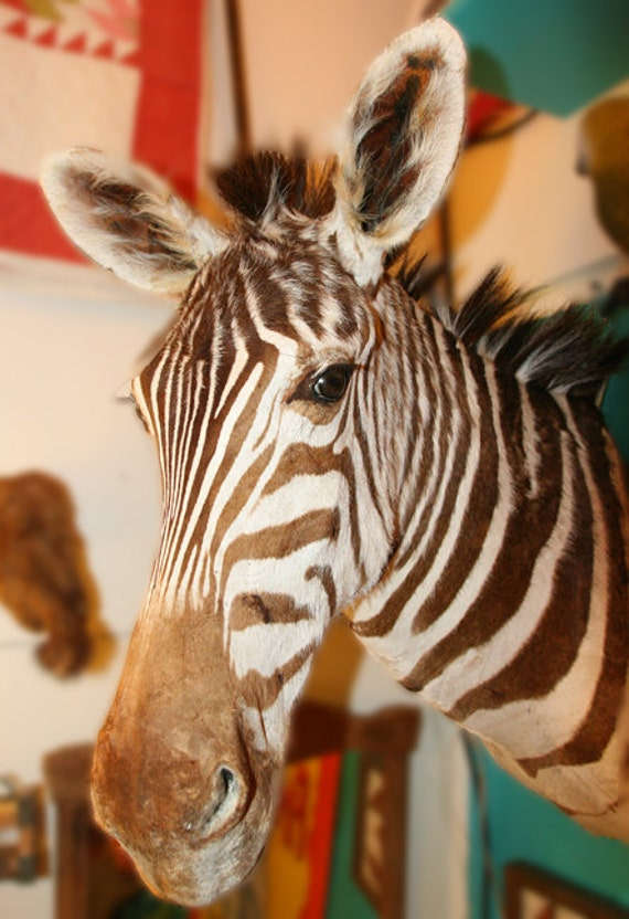 Vintage Taxidermy Zebra Mount