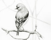 Bird Pencil Drawing Fine Art Giclee Print of my Hand Drawn Illustration Sketch Winter Woodland Bird Pencil Drawing Black and White Teamt - ABitofWhimsyArt