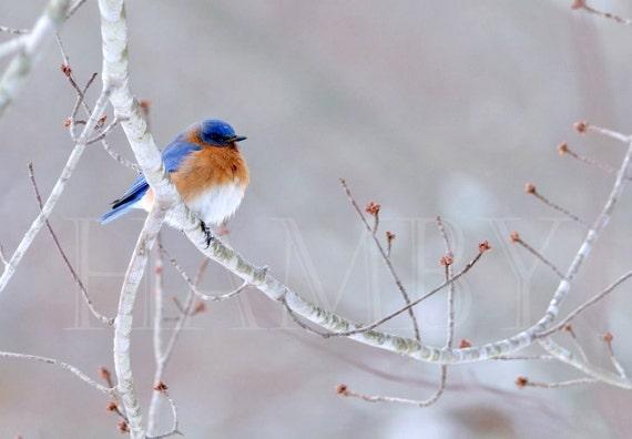 Solitary Bluebird --11x17-- Fine Art Print