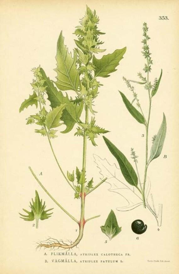 Antique 1905 Botanical Image Atriplex Calotheca