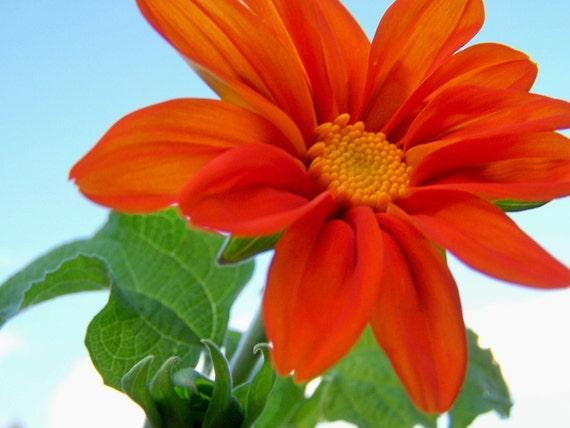 CLEARANCE Torch Sunflower-Fine Art Matted Photograph-8x10