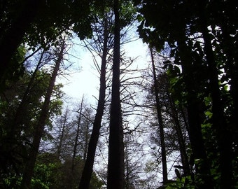 Black Canopy, Forest Photograph