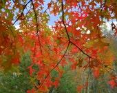 Oak Leaves in Autumn, Beckley, West Virginia--8 x 10 fine art photo, signed