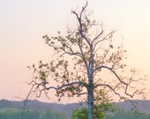 Sycamore in Spring, Mercer County, Kentucky--8 x 10 fine art photo, signed