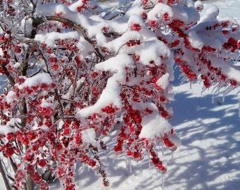 Deciduous Holly under Snow, University of Kentucky Arboretum, Lexington, KY--8 x 10 fine art photo, signed