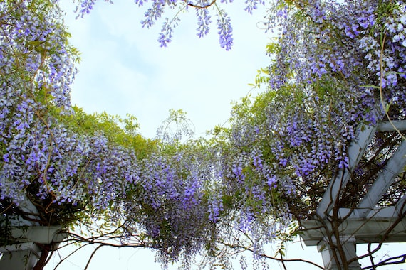 Circle of Wisteria, Sycamore Rouge Theatre, Petersburg, Virginia--8 x 10 fine art photo, signed