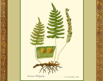 Botanical print reproduction - COMMON POLYPODY - 499