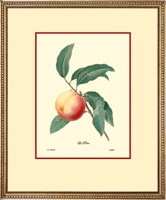 PEACH - Botanical print reproduction 1014