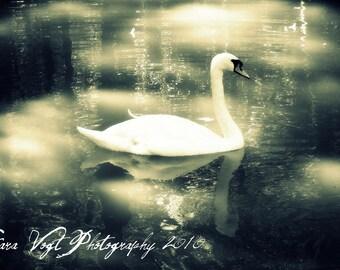 Silver Swan - 5 x 7 Photo Print