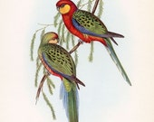 RESERVED FOR TONIA John Gould Earl of Derby Parakeet Lithograph
