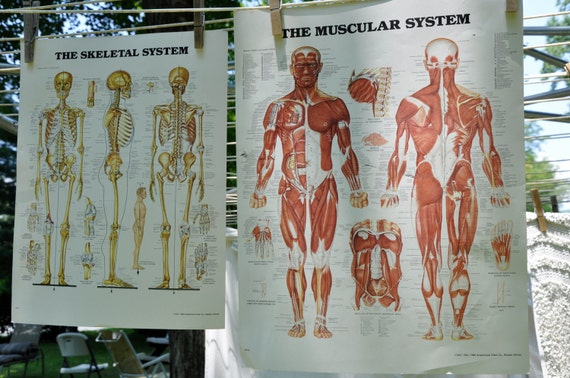1980's Muscular and Skeletal System Posters