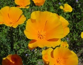 California Poppy Tincture