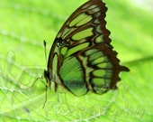 Green and brown butterfly fine art photograph 8x12 print ready to frame