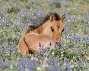 Foal in the Lupine - Fine Art Wild Horse Photograph - Wild Horse - Pryor Mountains