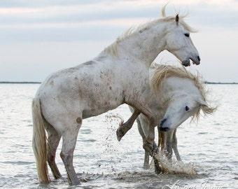 White Horses Play at Dawn - Fine Art Horse Photography - Horse - Camargue - Fine Art Print