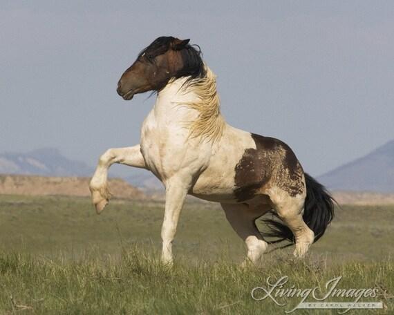 Warbonnet's Challenge - Fine Art Wild Horse Photograph - Wild Horse - Warbonnet
