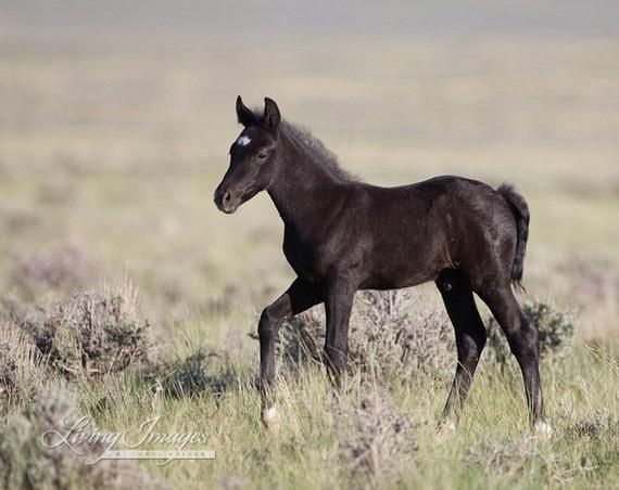 Wild Black Foal Walks - Fine Art Wild Horse Photograph - Wild Horse - McCullough Peaks - Fine Art  Print