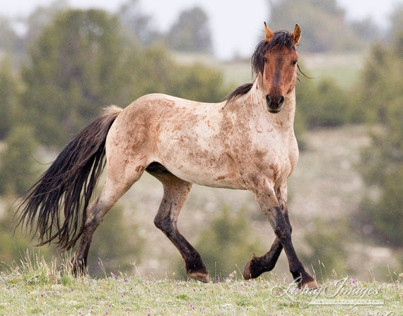 Roan in the Rain - Fine Art Wild Horse Photograph - Wild Horse - Pryor Mountains - Fine Art Print