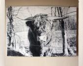 bornholm bull / large format halftone print / 24x36 black and white poster