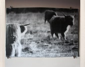 junior bulls / large format halftone print / 24x36 black and white poster