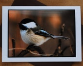 Black Capped Chickadee No 2 - Photographic Greeting Card - Blank Inside