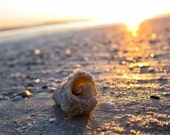 Seashell Photograph Siesta Key Beach Sunset Florida - 8x12 fine art print