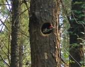 Woodpecker Stump