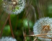 Dandelion photo- spring photo -8x10 photo- 8x10 fine art print- color photo- macro photo- green- white