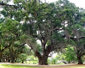 "New Orleans City Park Oak Tree Panoramic Print - 10"" x 20"""