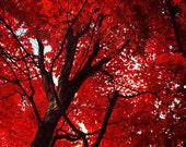Red Tree Photo. Fine Art Photography. Scarlet Red Blood. Autumn Décor. Wall Art. Nature Photography. True Blood. Size A4