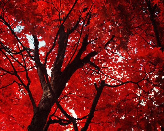 Items similar to red tree photo fine art photography - Decorative trees with red leaves amazing contrasts ...
