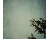sparrow photograph - original fine art photography, reflection, bird, nature, pine, blue, green, orange - 8x8