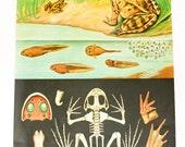 Vintage school pull down map frog, german make print