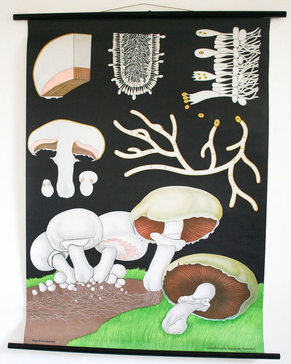 genuine vintage german school pull down map, mushrooms botanical chart