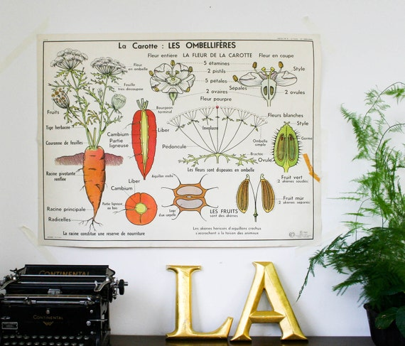 french botanical chart genuine vintage school map, double sided carrot industrial look