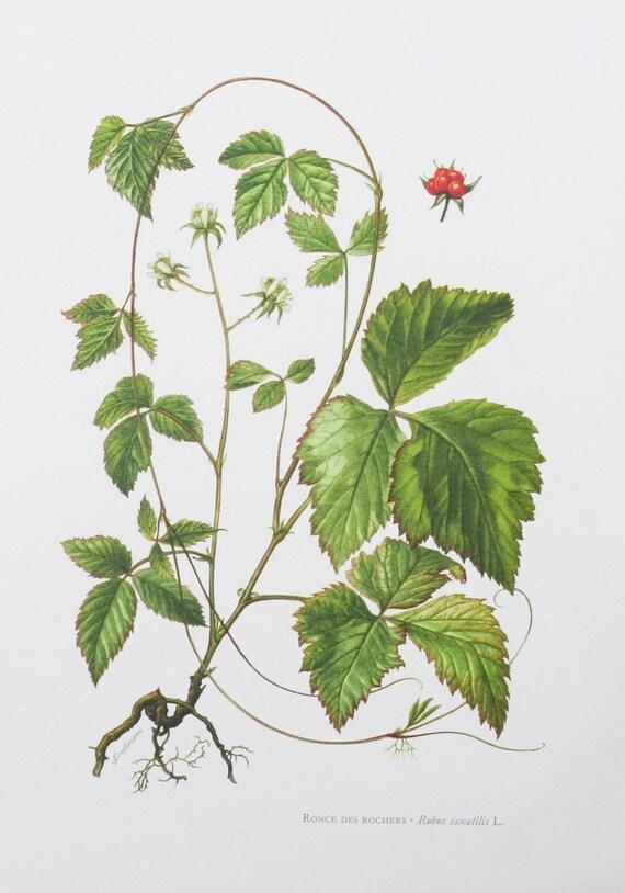 Genuine Vintage botanical print, double sided ronce des rochers botanical print, screen print